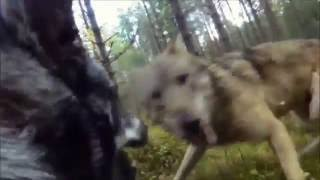 Атака 2 волков на Ямтхунда(Швеция)