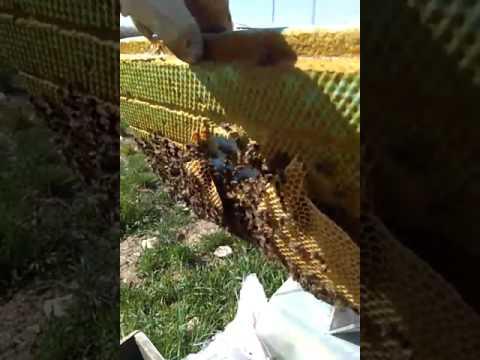 Sıkışan arının petek asıp erkek yavru atması.