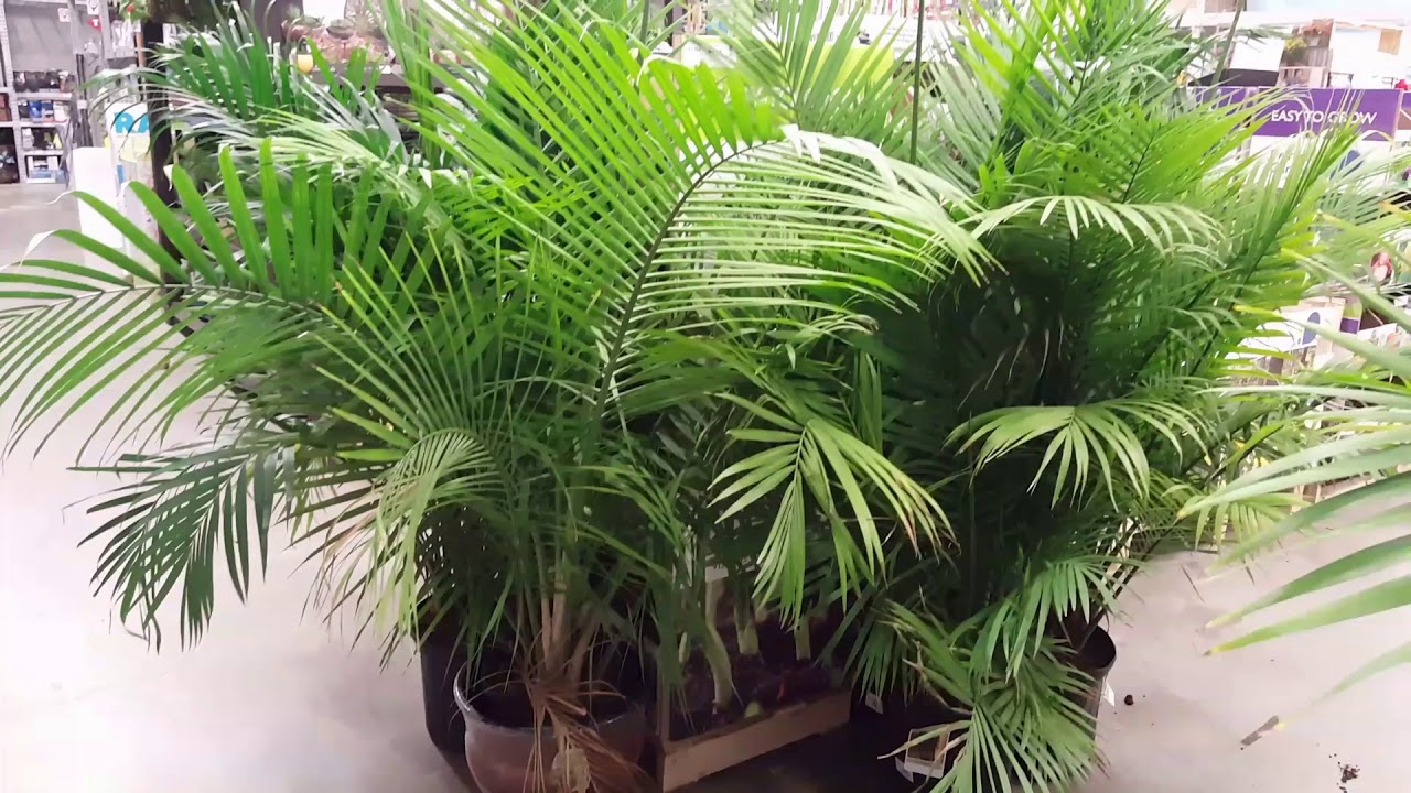 5 Tips for Indoor Palm Care | Donna Joshi Big Leaf House Palm Tree Plant Images on