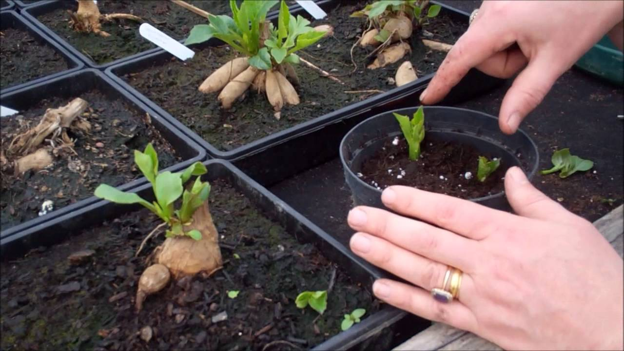 How To Take Dahlia Cuttings Youtube