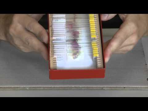Il microscopio ottico: come si usa e come si prepara un vetrino