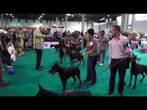 WORLD DOG SHOW 2013 - DOBERMANN FINALS
