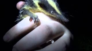 09/04/15 - Lowland Streaked Tenrec (Hemicentetes semispinosus)