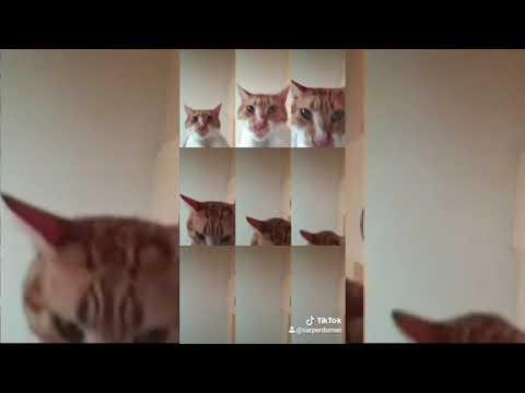 Tik Tok - Mr. Sandman Cats compilation #2