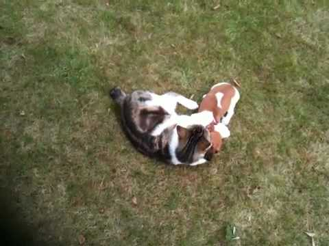 Manx cats playing with mini jack Russell puppy