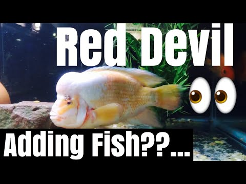 Full Grown Adult Red Devil With Other Fish?