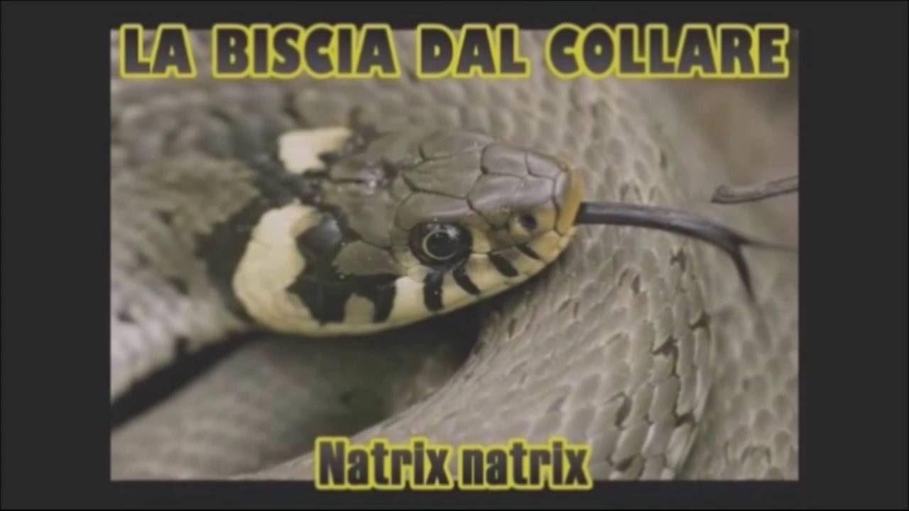 Serpenti Italiani Il Biacco Vipera Aspis E Biscia Dal Collare Youtube