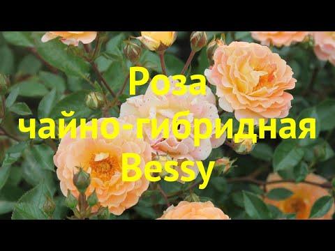 Роза чайно-гибридная Бесси. Краткий обзор, описание характеристик, где купить саженцы Bessy
