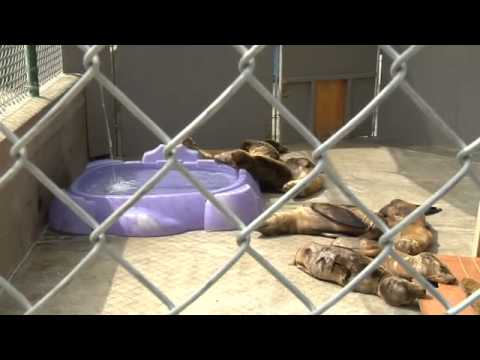 California: Stranded sea lion pups inundate animal rescue centre