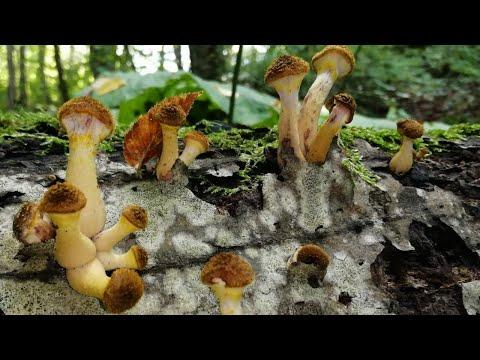 Осенние опята. Бонус + Самый простой и вкусный рецепт маринада для грибов