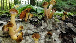 Осенние опята. Самый простой и вкусный рецепт маринада для грибов