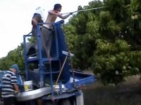 mango harvesting machine