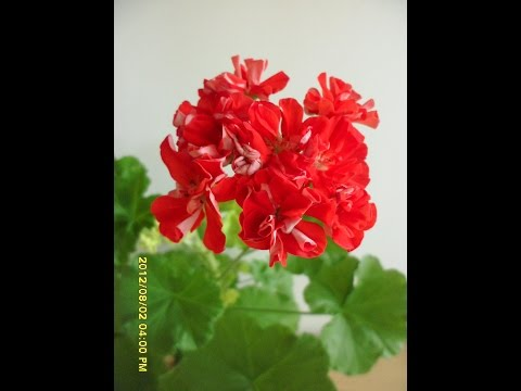 Pelargonium Rosebud Brighstone   로즈버드 브라이스톤