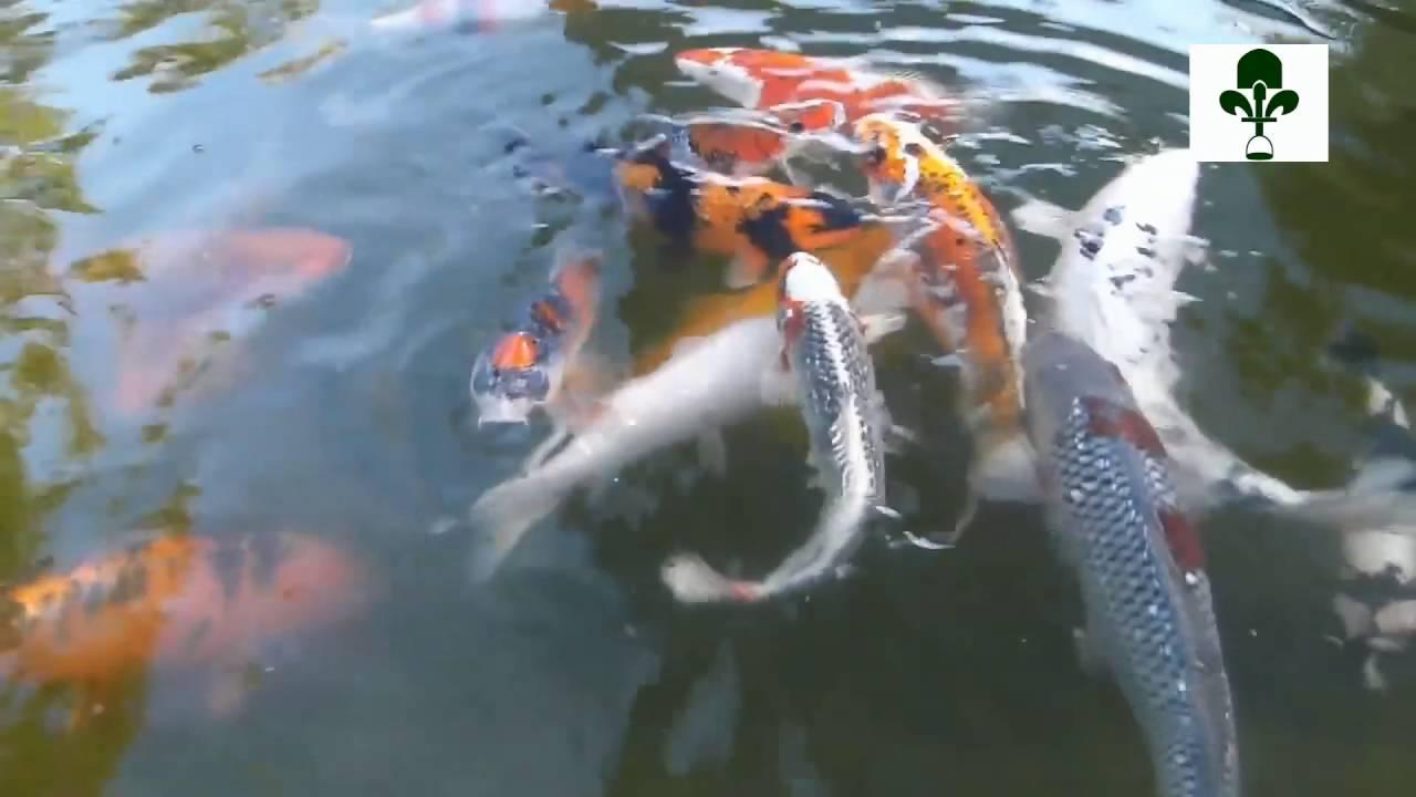 bassin de jardin - construire un étang pour poissons carpes koïs