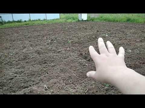 Посадили картошку.
