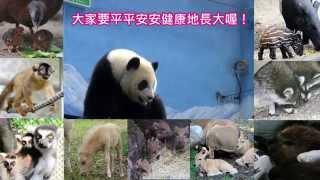 大貓熊圓仔1歲囉!Giant Panda Cub Yuan Zai