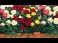 تطعيم الورد الجوري بعدة ألوان Rose Grafting mp3