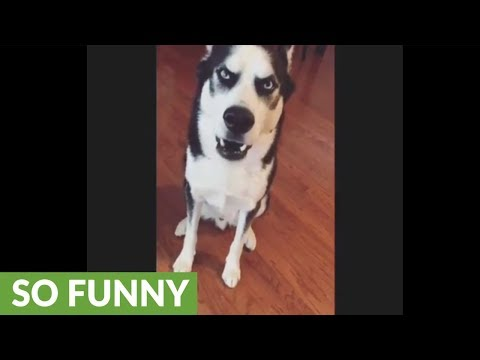 Guilty husky can't face the truth, throws temper tantrum