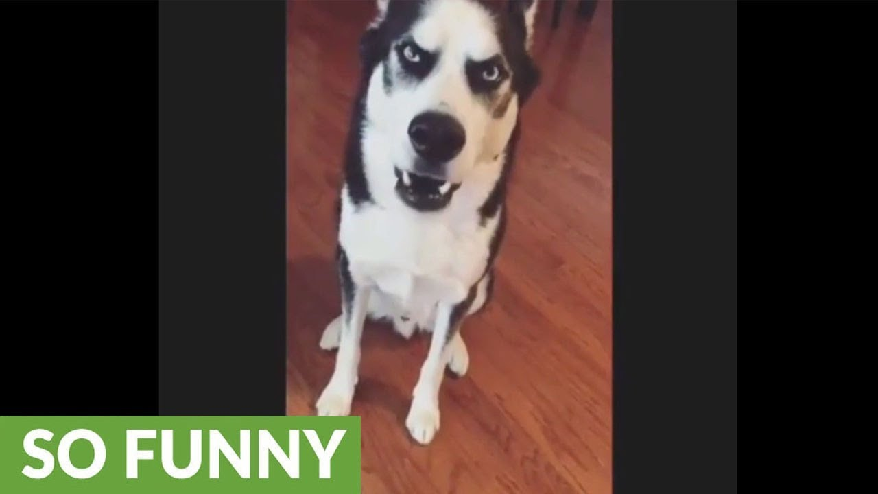 guilty-husky-can-t-face-the-truth-throws-temper-tantrum