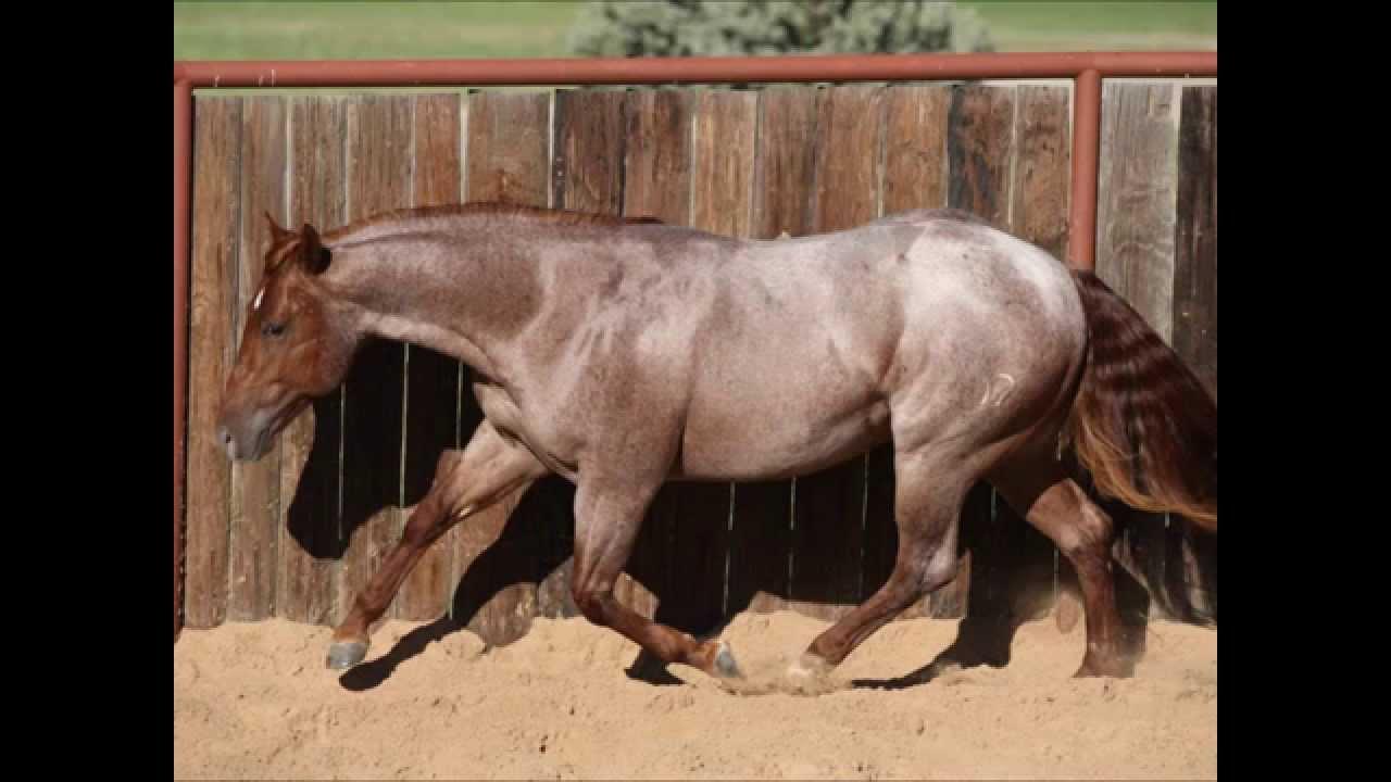 Red Roan Quarter Horse Foal