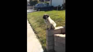 When Is The Last Time You Saw An Off Leash And Well-trained Pug!?