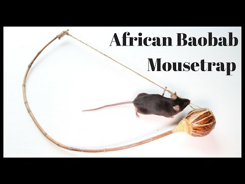 African Baobab Mousetrap
