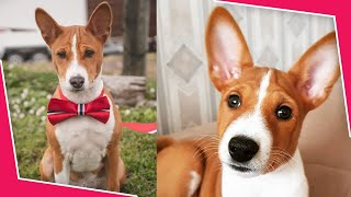 Basenji Pros & Cons: Is it the right dog breed for you?