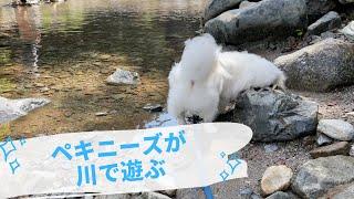 (EN) ペキニーズの川遊びと夏最後のキャンプ! Pekin…