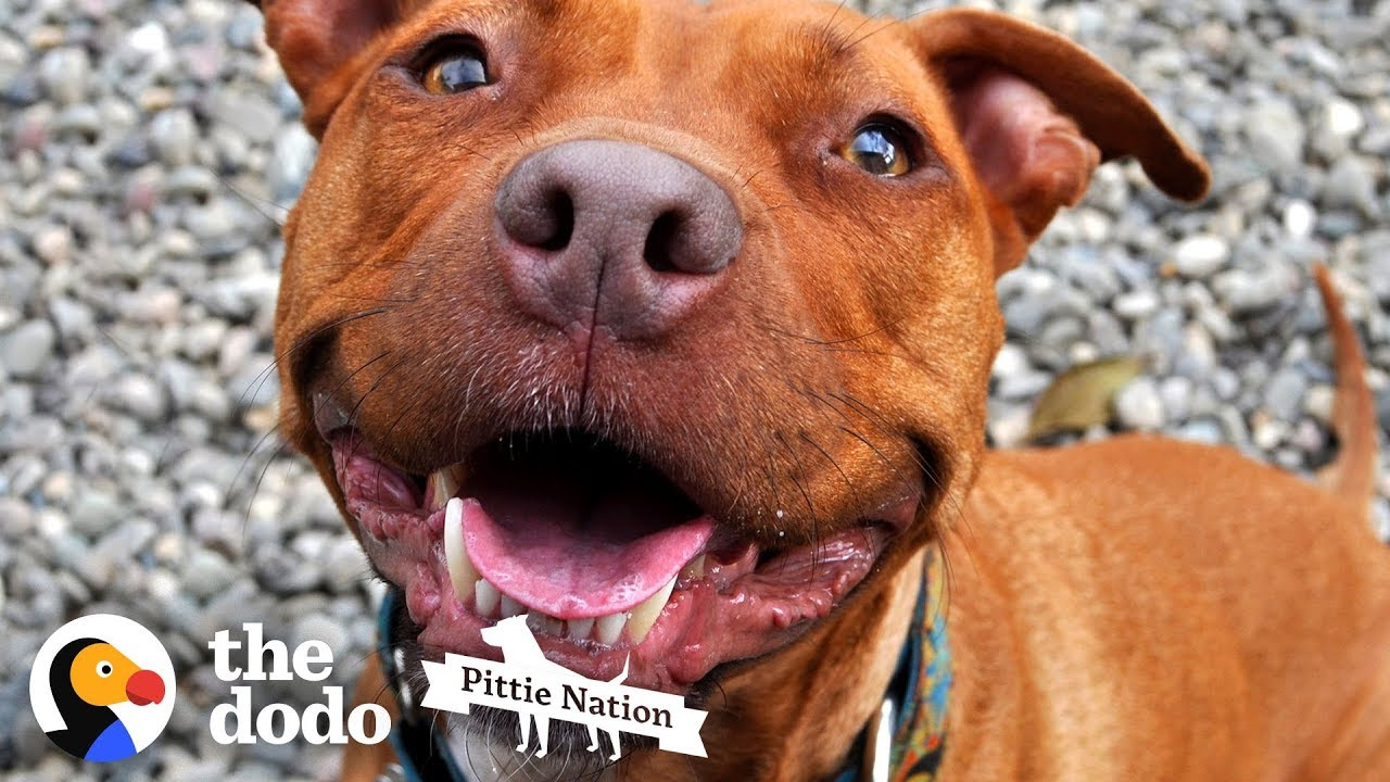This is One of the Last Surviving Pitties from Michael Vick's Fighting Ring | The Dodo Pittie Nation