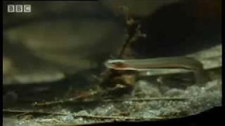 Horror story: Candiru: the Toothpick Fish - Weird Nature - BBC animals