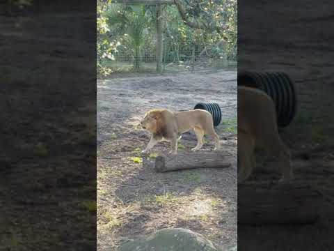 Lion Roaring at the Jacksonville Zoo