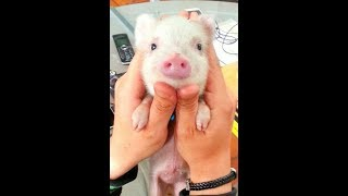 AWESOME Domestic Animal Piglett - Best Daddy Pig - Small Peppa Pig