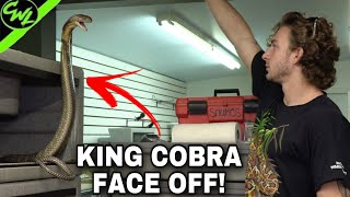 KING COBRA FACE OFF!!!(REPTILE HOUSE UPDATE)