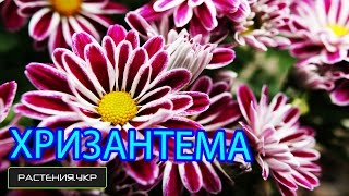 Смотреть видео хризантемы после цветения