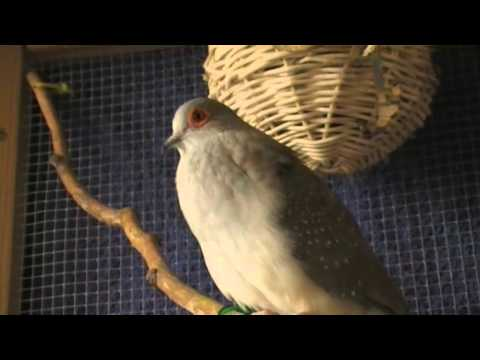 Diamanttaube Gurrt / Diamond Dove Cooing