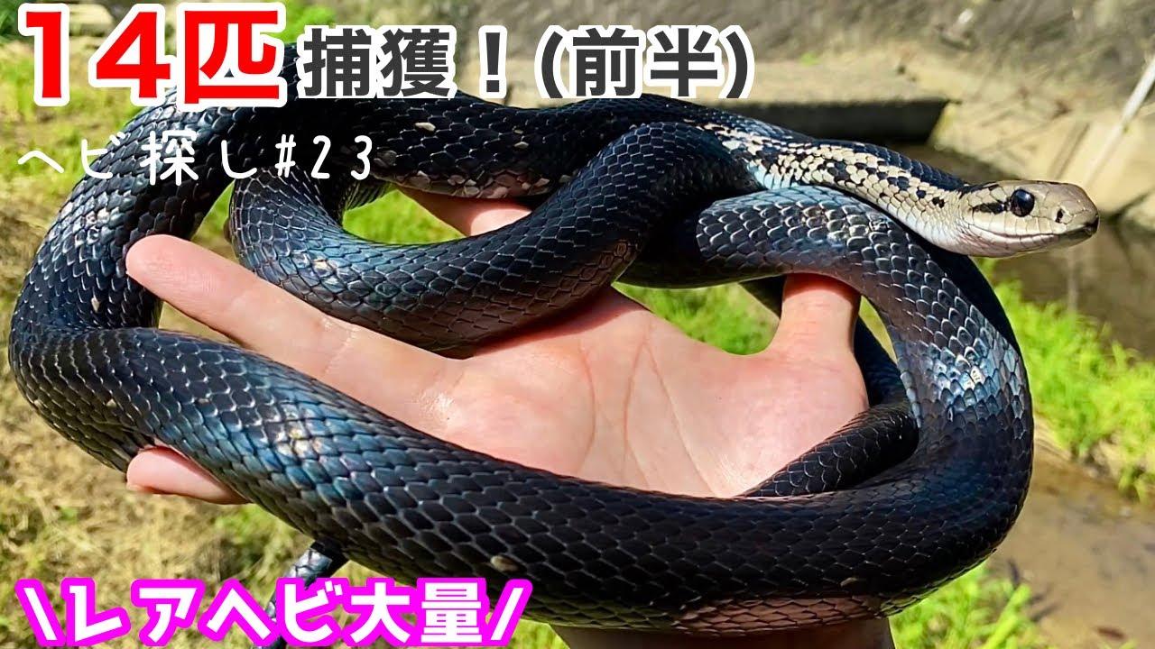 ヘビ14匹捕獲🔥(前半)  ヘビ採取2021!#23【蛇の捕まえ方】Capture 11 snakes! (Latter half) Capture snakes 2021! #23