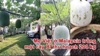Mẹ Việt ở Malaysia trồng một cây BÍ thu hoạch 200 kg