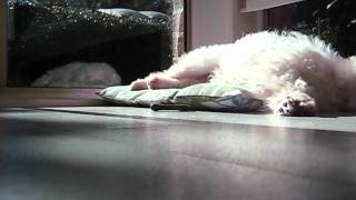 Kikki the Maltese - Greenie Treat & More Lounging