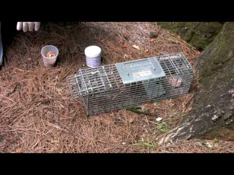 Chipmunk Trap Set