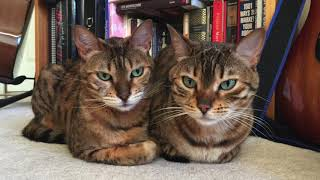 Remembering Kaylee, Our Compassionate Bengal Cat