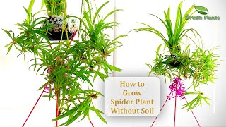 How to Grow Spider Plant Without Soil | Spider Plants In Water | Spider Plant Indoor//GREEN PLANTS