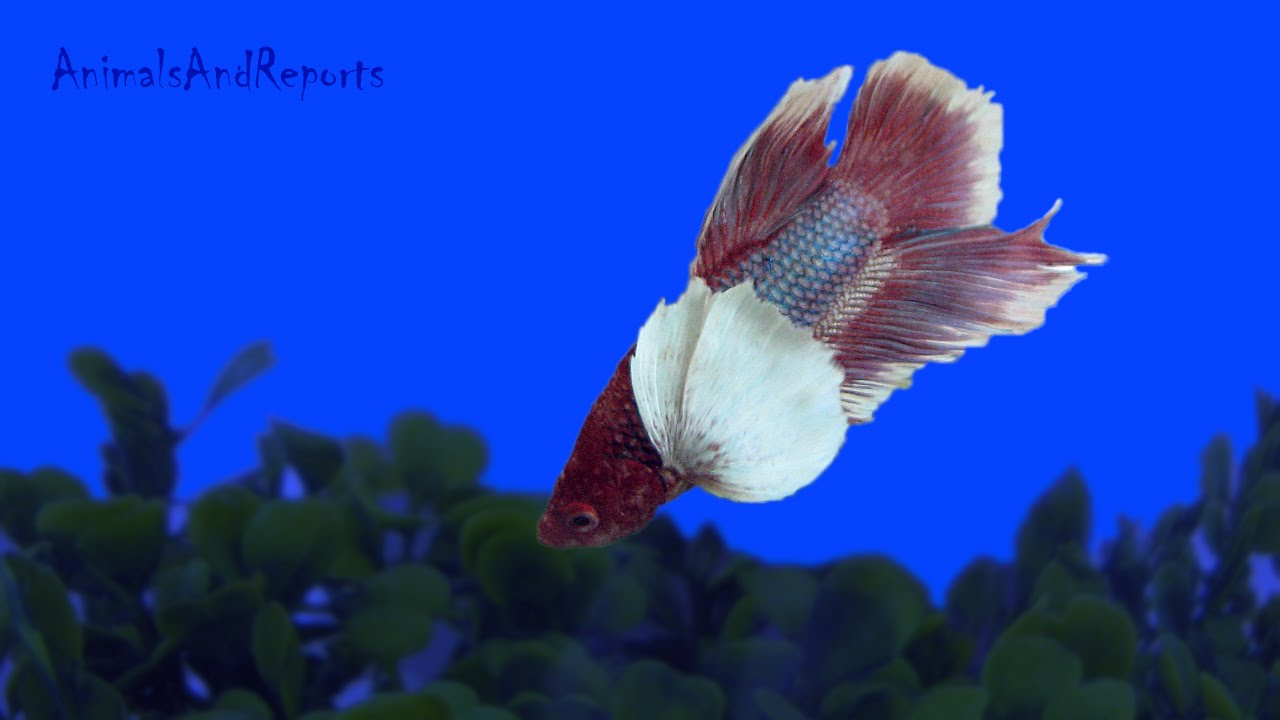 beautiful elephant ear betta fish youtube