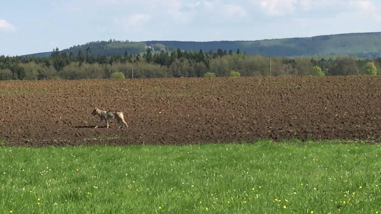 Wolf in Baden-Württemberg (WILD UND HUND) - YouTube