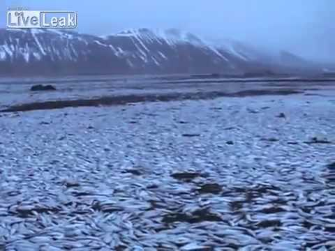 Iceland : Millions of Dead Herring wash up on Iceland shores Hosea Prophecy (Feb 06, 2013)