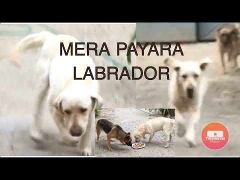 mera-pyara-labrador||-labrador-white||-off-white||-my-pet||-home|