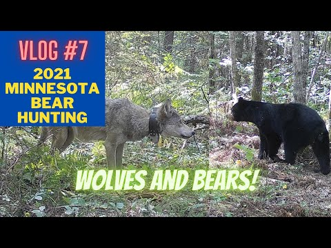 Minnesota Bear Hunting VLOG #7 | Wolves and Bears