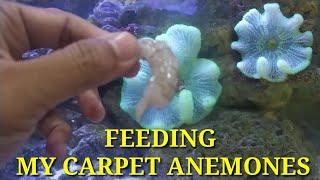 cara-memberi-makan-anemon-karpet