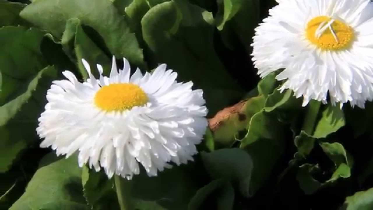 Biocarve seeds bellis perennis monstrosa double white httpwww biocarve seeds bellis perennis monstrosa double white httpbiocarve izmirmasajfo Image collections