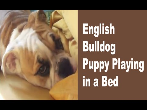 Bulldog Puppy Playing in a Bed