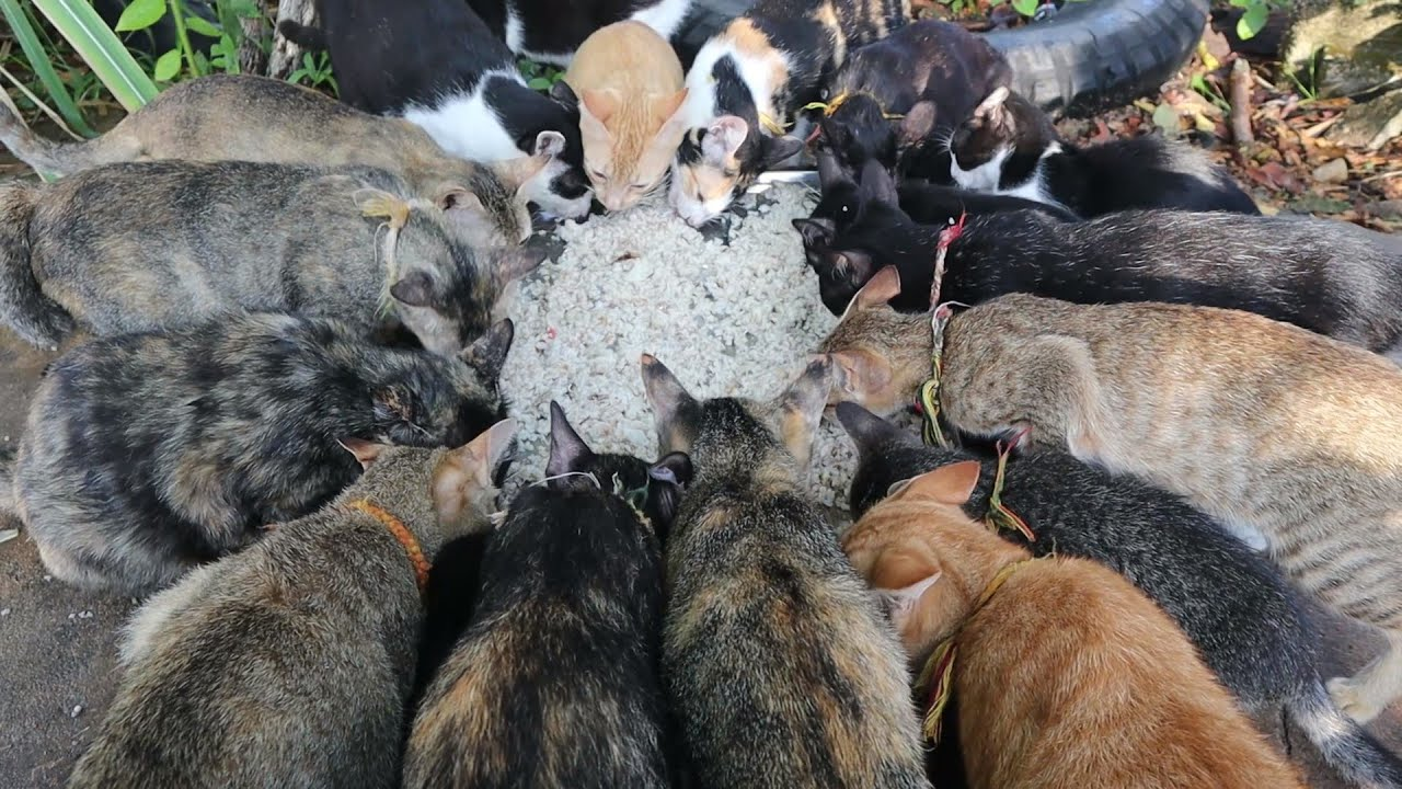Group Cats Eating rice - Cats eating rice | The Gohan Dog And Cats